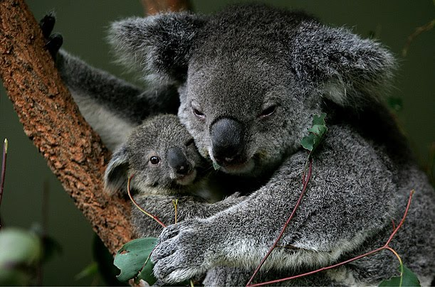 Koala Mom and Baby