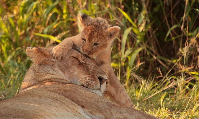 lion and lioness and cub. Lion Cub and Lioness