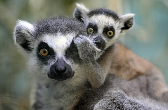 Ringtail Lemur With Baby
