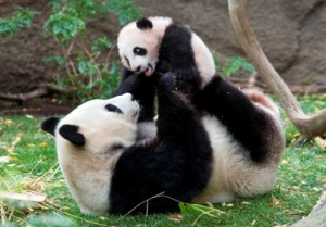 Panda Mom and cub